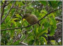 Cardinale femelle-06898