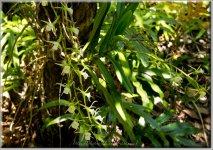 Île aux Aigrettes Orchidée-06929