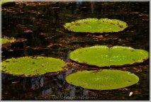 Jardin de Pamplemousses-06791